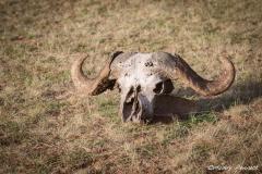Beauty in Death - Buffalo Skull