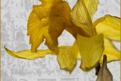 Dying Daffodil