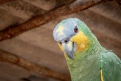 Amazon Parrot Portrait