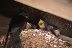 Swallow with Chicks