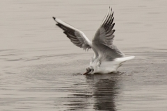 Black faced gull landing