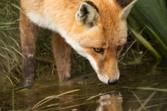 Fox and Reflection