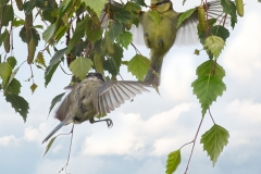 Juvenile Blue Tit with Parent being Fed on The Wing