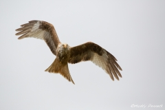 Leucistic Red Kite in Flight