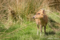 Muntjac Deer 2