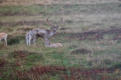 Fallow Deer Stag and Family