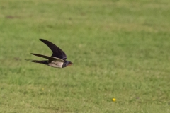 Swallow on the wing