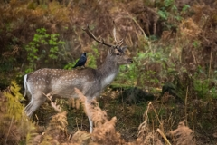 Fallow deer Stag with Jackdaw