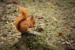 Red Squirrel Eating Hazelnuts