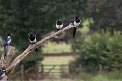 5 Magpies