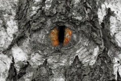 Eye in the Wood