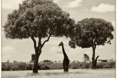 Giraffe Eating 1