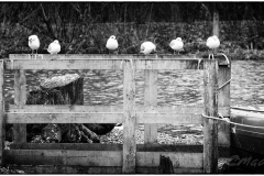 Seven Black headed gulls