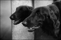 Two Flat Coated Retrievers