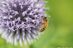 Honey Bee on Echinops Ritro - Veith's Blue (Globe Thistle)