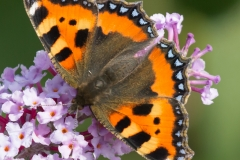 Large Tortoiseshell on Buddleia