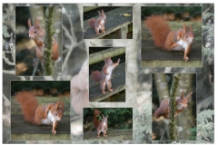 Red Squirrel Antics