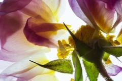 Rose Detail 1