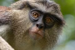 Curious Mona Monkey
