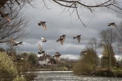 Pidgeon Takeoff
