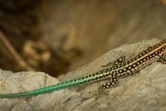 Anatolian Rock Lizard ( Anadolu Kaya Kertenkelesi )