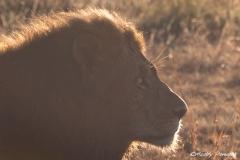 Back lit Lion