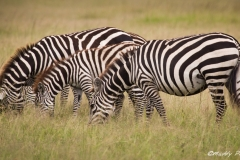Broken Outline; Zebras