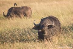 Buffalo with Ox Picker