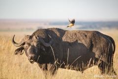 Buffalo with Yellow Billed Ox Picker