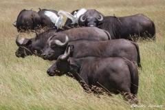 Cape Buffalo, Egret and Yellow Billed Ox Picker