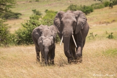 Closing in to protect the Baby Elephant