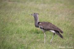 Coby Bustard