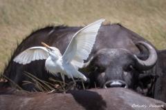 Egret and Cape Buffalo