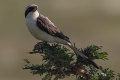 Grey Backed Shrike