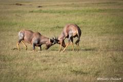 Heads Down - Topis in Kenya
