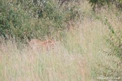 Hidden Lioness