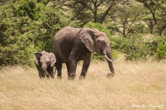 Infant Elephant with Mother