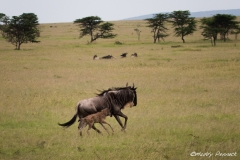 Keeping Close to Mother; Wildebeest & Calf