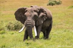 Large Bull Elephant 8