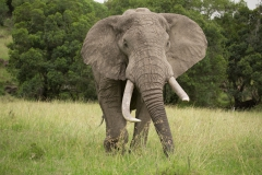 Large Tusker