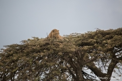 Leopard chased up a tree