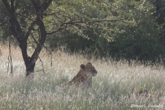 Lioness with Cubs in the Morning Light