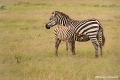 Mother & Foal (Zebra)