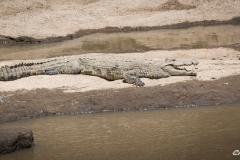 Nile Crocodile 2