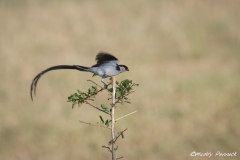 Pin Tailed Whydah 2