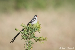 Pin Tailed Whydah 5