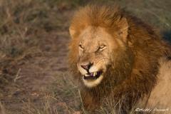 Pride Lion, Kenya