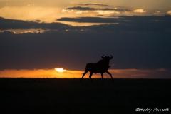 Sunset with Wildebeest