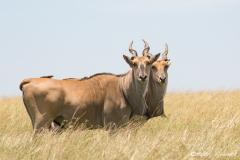 Two Female Eland