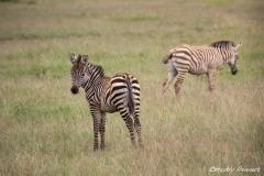 Two Zebra Foals
